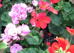 Wol & Co geraniums