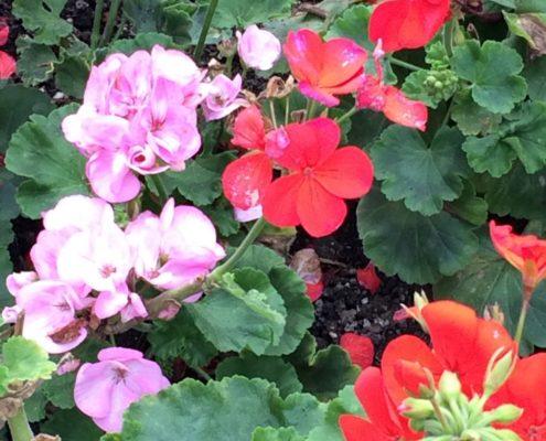 Wol & Co geraniums