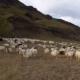 Lopi garens IJslandse-schapen